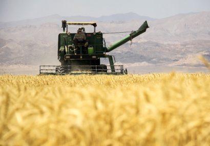 پیش بینی برداشت ۳۰۰ هزار تن گندم در گنبدکاووس