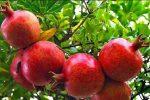باغداری؛ ظرفیت مغفولمانده کشاورزی گنبدکاووس